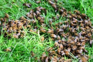 honey bees, bees, grass